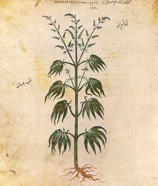 508px-cannabissativadior