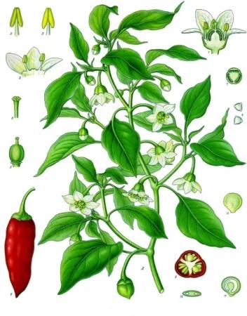 capsicum_annuum_-_kc3b6hlere28093s_medizinal-pflanzen-027